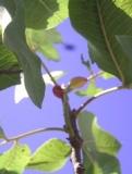 Arbol de pistacho.  (Pistacia vera L.) plantado en Chile